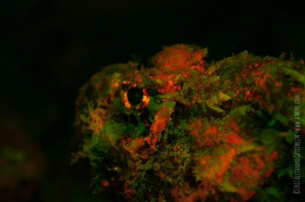 Scorpion Fish Under Fluorescent Light Head Only